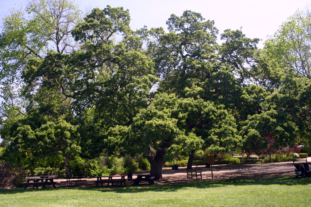 Big Oak in Holbrook Palmer